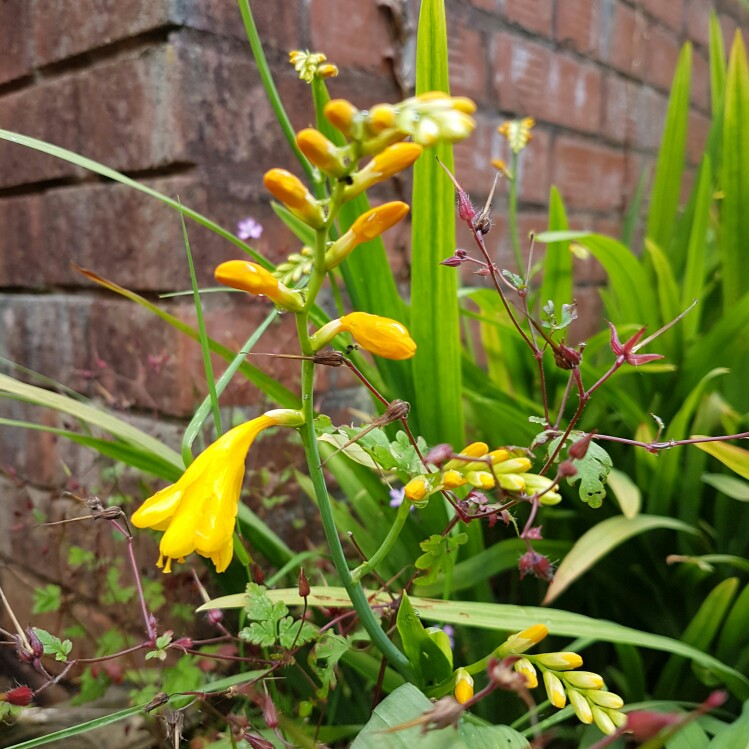 Plant image Crocosmia 'Paul's Best Yellow'