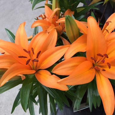 Lilium 'Orange Joy'