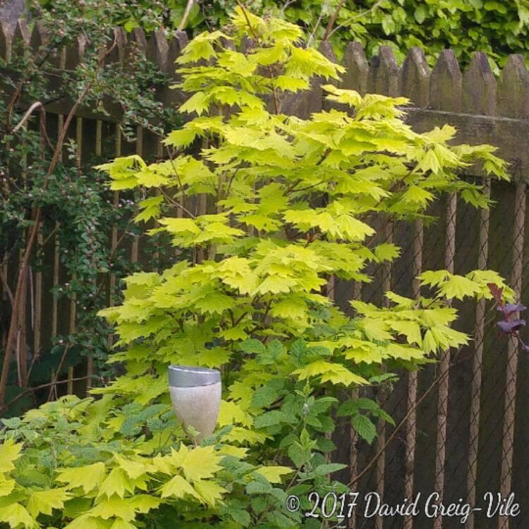 Acer Shirasawanum Aureum Golden Full Moon Acer Uploaded By