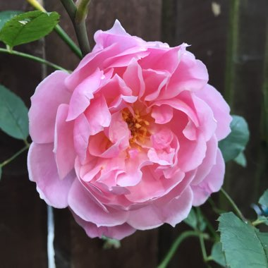 Rose 'Mortimer Sackler'