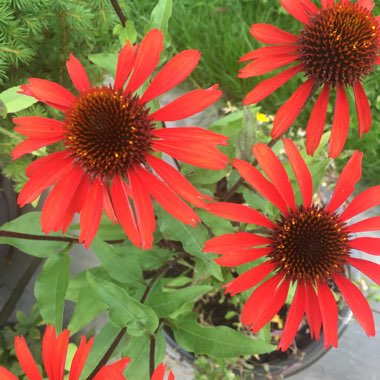 Coneflower 'Sunseekers Orange'