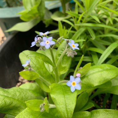 Common Forget-me-not