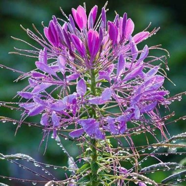Cleome 'Colour Fountain'