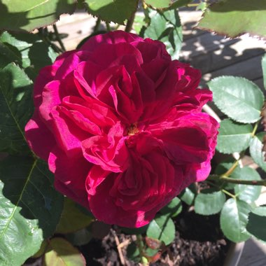 Rose 'Darcey Bussell' (Shrub)