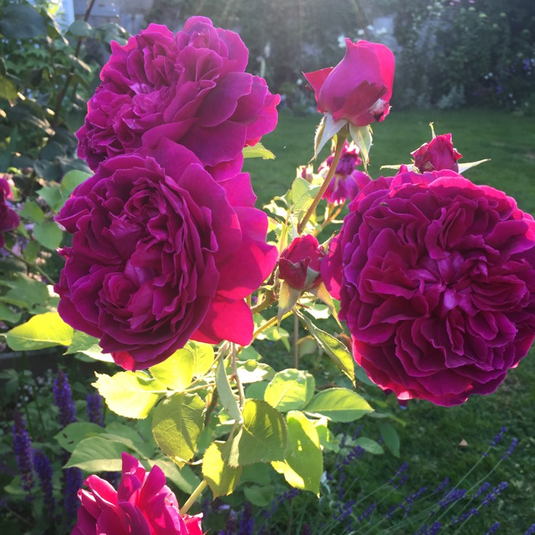 Plant image Rosa 'Ausroyal' syn. Rosa 'William Shakespeare'