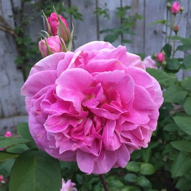 Rose 'Gertrude Jekyll' (Shrub)