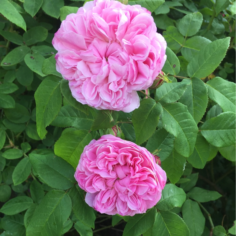 Plant image Rosa 'Marchesa Boccella' syn. Rosa 'Jacques Cartier', Rosa 'Marquise Boccella'