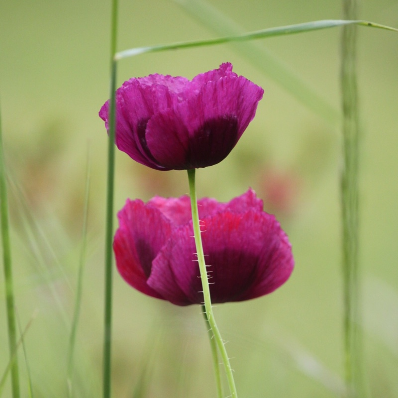 Plant Papaver somniferum (Unknown Variety)