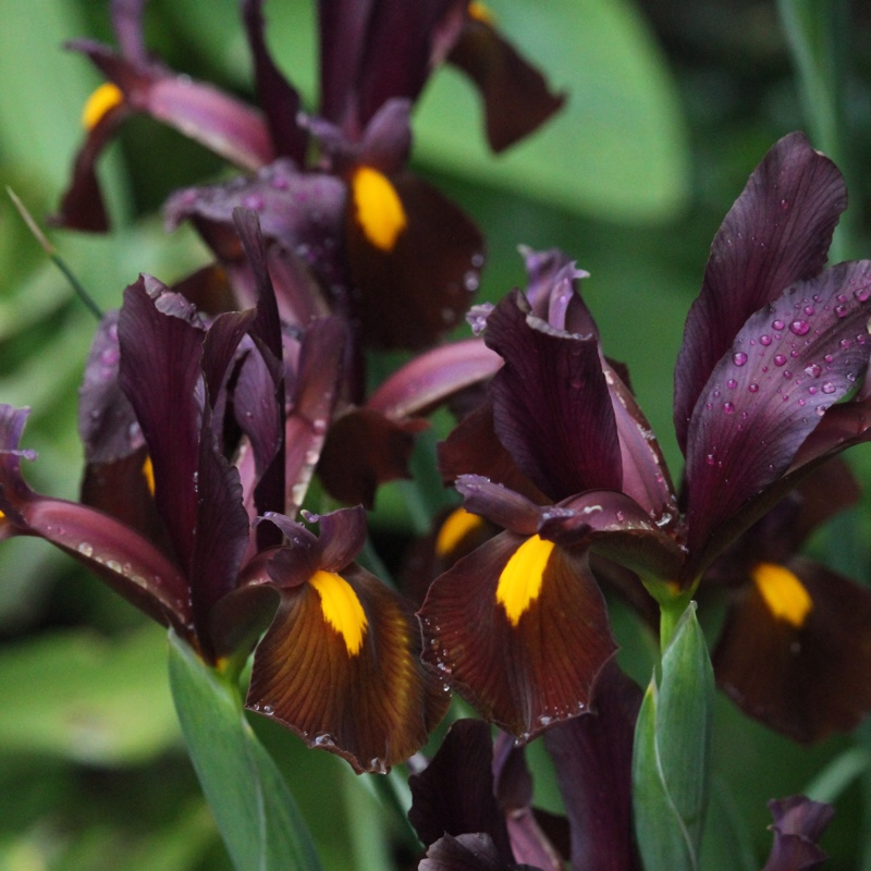 Plant Iris Hollandica 'Red Ember'