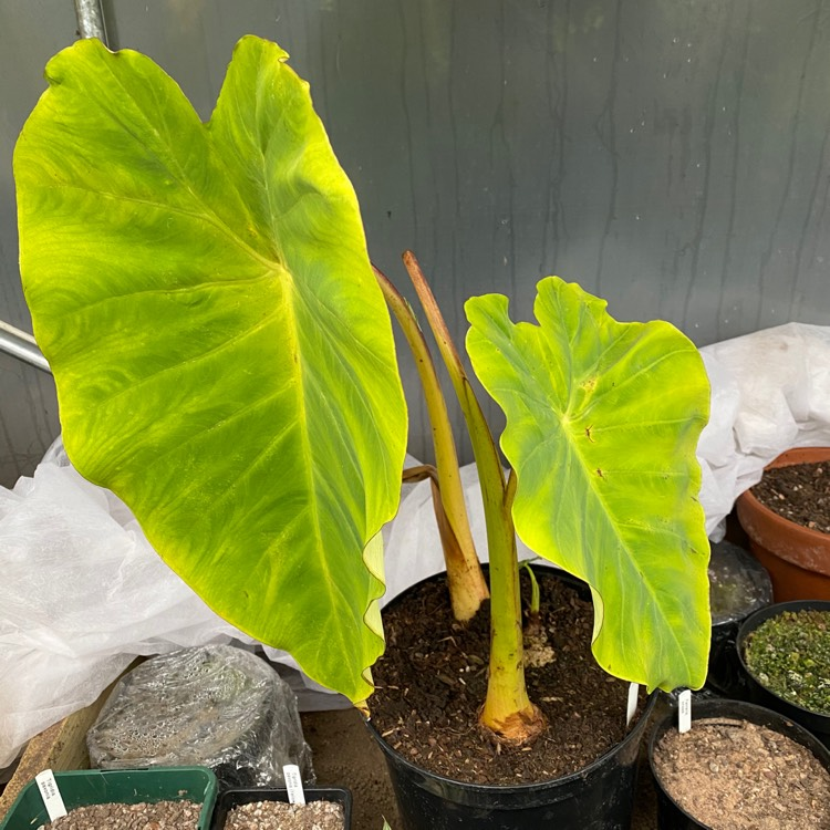 Plant image Colocasia esculenta  syn. Colocasia antiquorum
