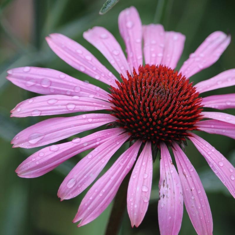 echinacea purpurea 39 magnus 39 coneflower magnus uploaded. Black Bedroom Furniture Sets. Home Design Ideas