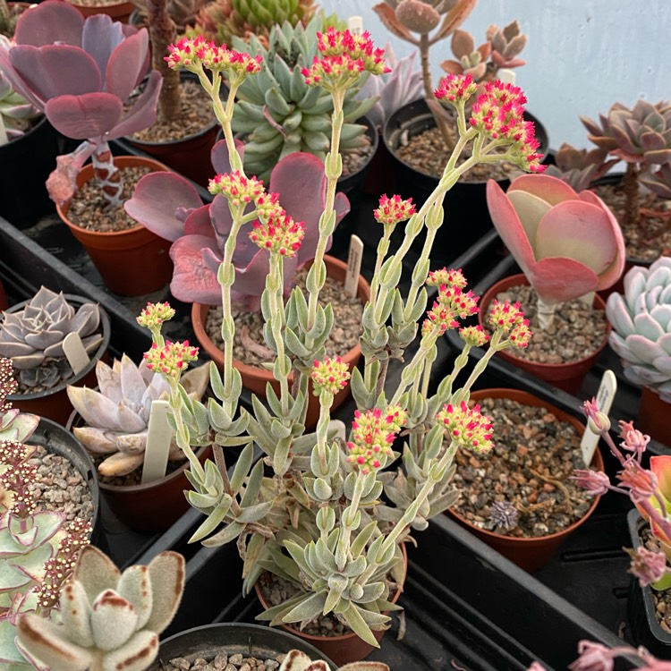 Plant image Crassula 'Surprise Party'