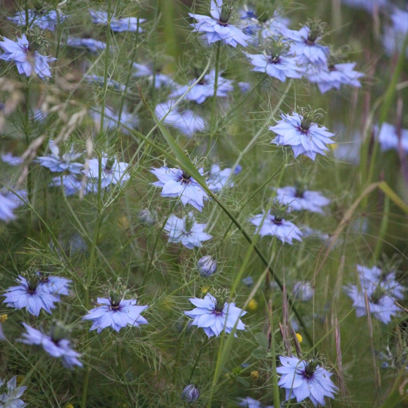 Plant Nigella (Unknown Variety)