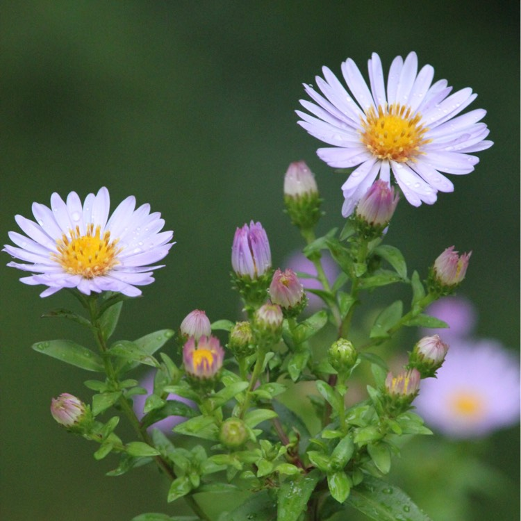 Plant image Aster