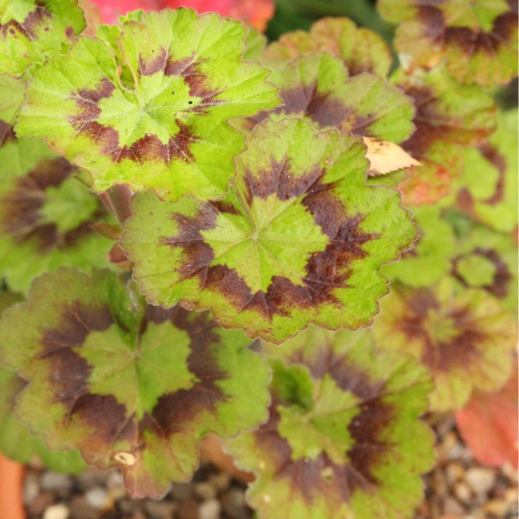 Plant image Pelargonium 'Tikorg' (Antik Series) syn. Pelargonium 'Antik Orange'