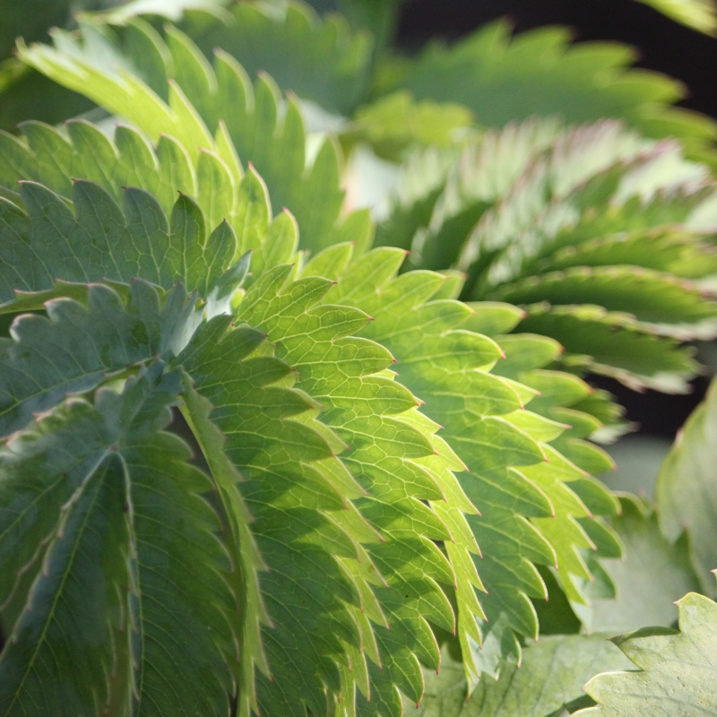 Plant image Melianthus major
