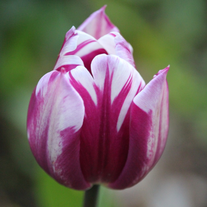 Tulipa 'Zurel' syn. Tulipa 'Blueberry Ripple'