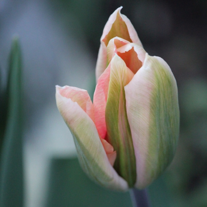 Tulipa 'Apricot Perfection'