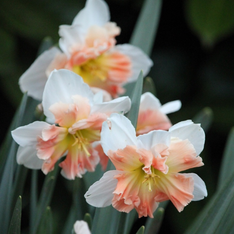 Narcissus 'Mallee'