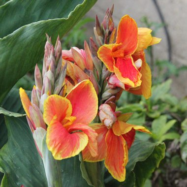 Canna Lily 'Lucifer'