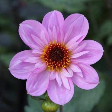 Dahlia 'Teesbrooke Red Eye'