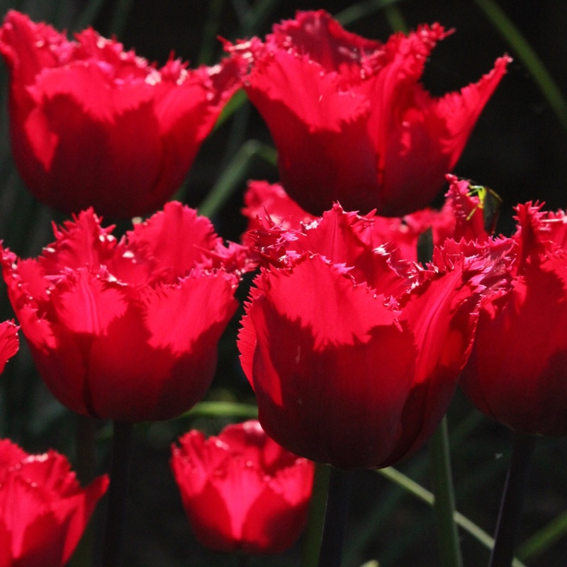 Plant image Tulipa 'Red Hat'