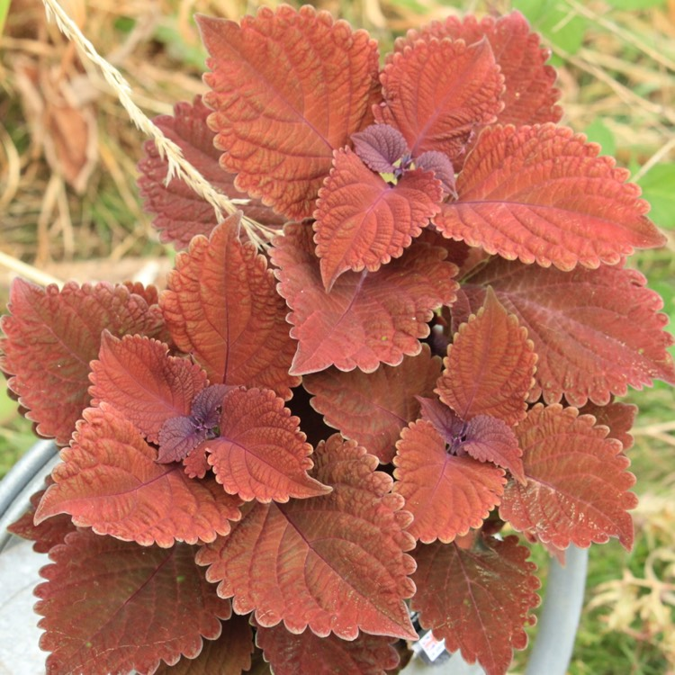 Plant image Plectranthus scutellarioides 'UF12359' (Red Fox Series) syn. Plectranthus 'Mainstreet Wall Street'