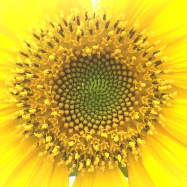 Helianthus annuus 'Giant Single'