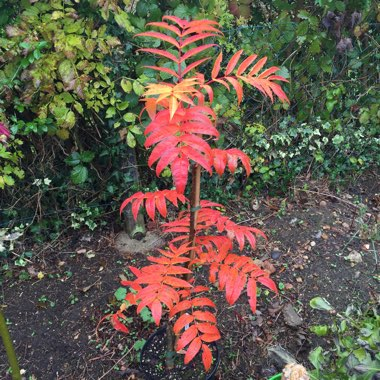 Sorbus ulleungensis 'Olympic Flame' syn. Sorbus commixta 'Olympic Flame', Sorbus dodong 'Olympic Flame', Sorbus 'Olympic Flame'