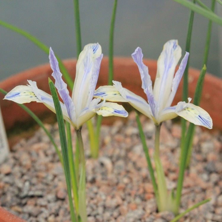 Plant image Iris 'Painted Lady' syn. Iris reticulata 'Painted Lady'