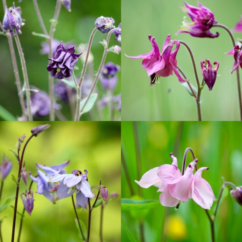 Aquilegia (Unknown variety)