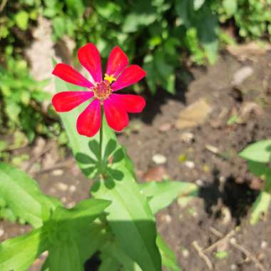 Zinnia 'Red Scarlet'