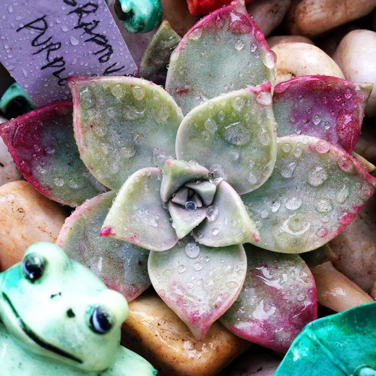 Plant image Graptopetalum Purple Haze