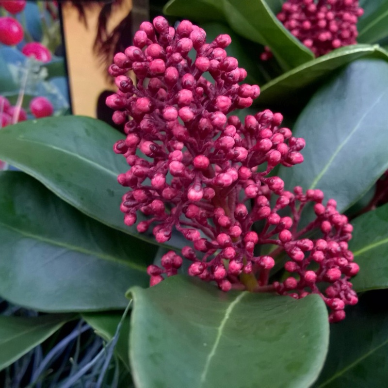 Plant image Skimmia japonica 'Inbolwi' syn. Skimmia japonica 'Intense'