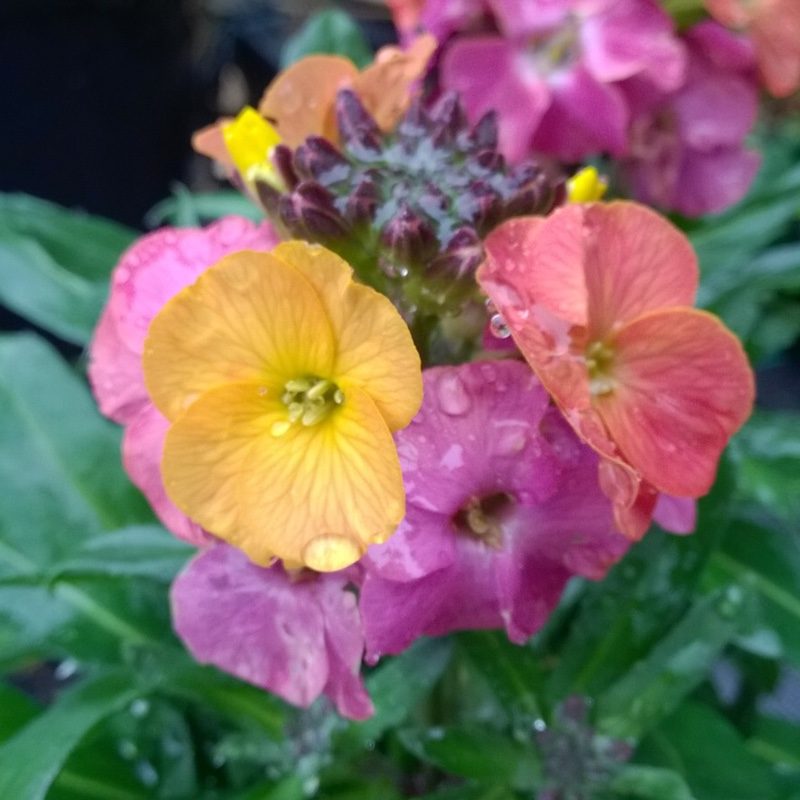 Plant image Erysimum 'Winter Party'