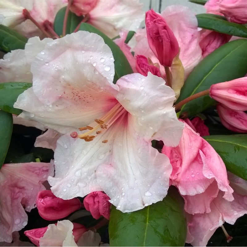 Plant image Rhododendron 'Virginia Richards'