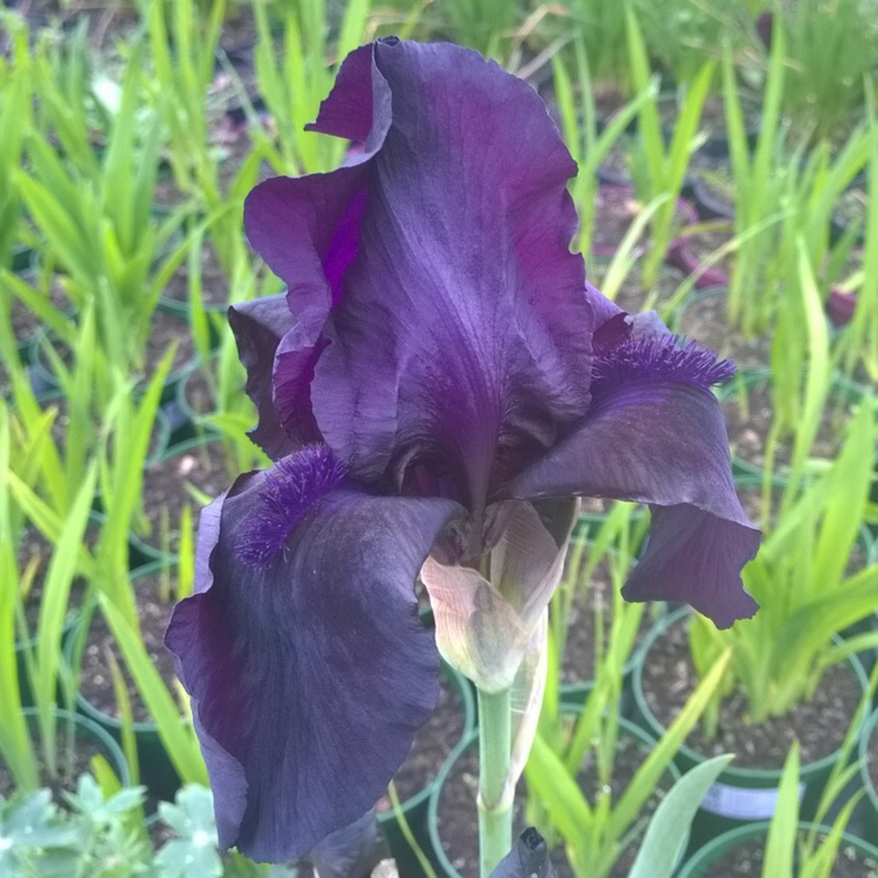 Iris x germanica 'Black Dragon'