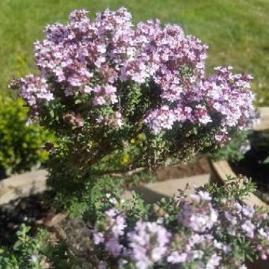Pink Thyme