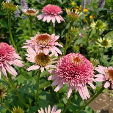 Coneflower 'Butterfly Kisses'