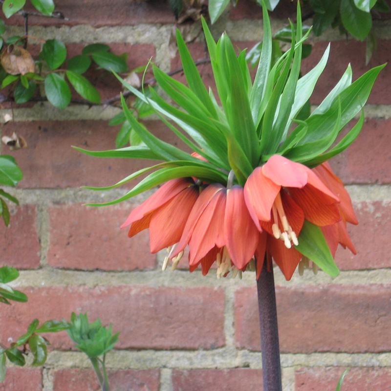 Plant image Fritillaria imperialis 'Blom's Orange Perfection'