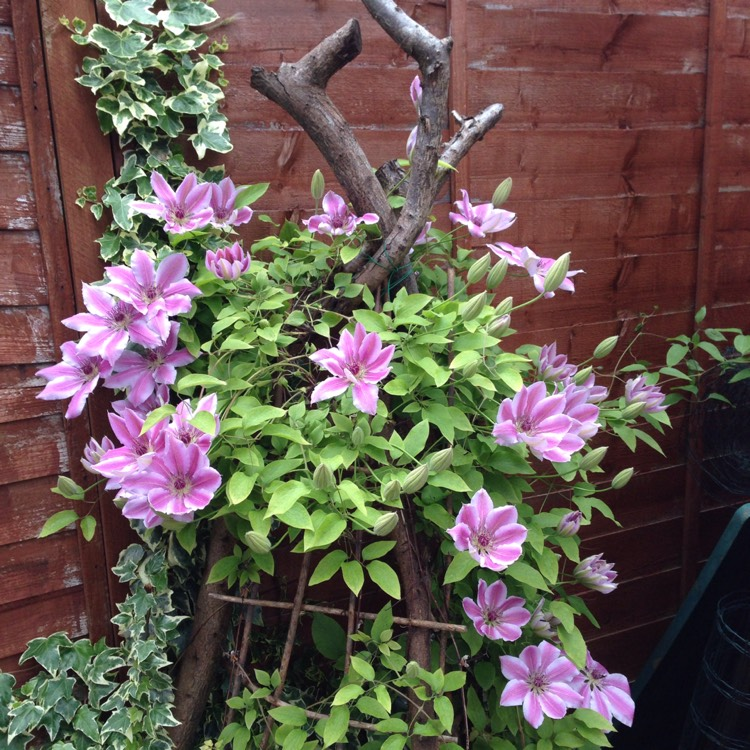Plant image Clematis (Pruning Group 2)