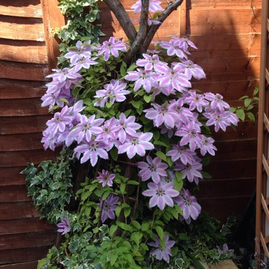 Clematis 'Carnaby'
