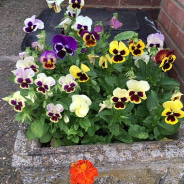 Pansy 'Historic Florist Pansies Mixed'