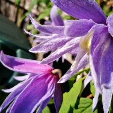 Clematis alpina 'Blue Dancer'