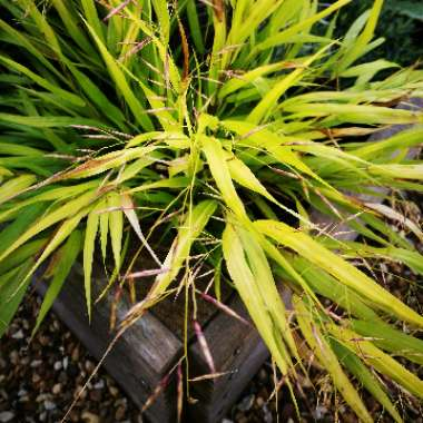 Japanese Forest Grass 'Aureola'