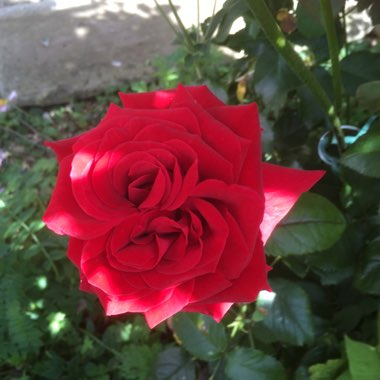 Rose 'Alec's Red' (Hybrid Tea)