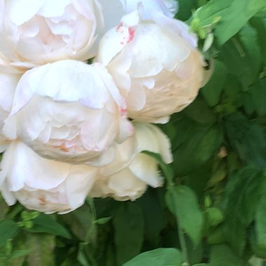 Rose 'Claire Austin' (Shrub)