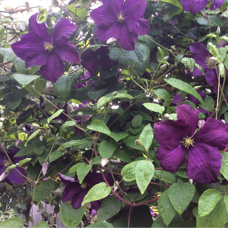 clematis viticella 39 etoile violette 39 clematis 39 etoile. Black Bedroom Furniture Sets. Home Design Ideas