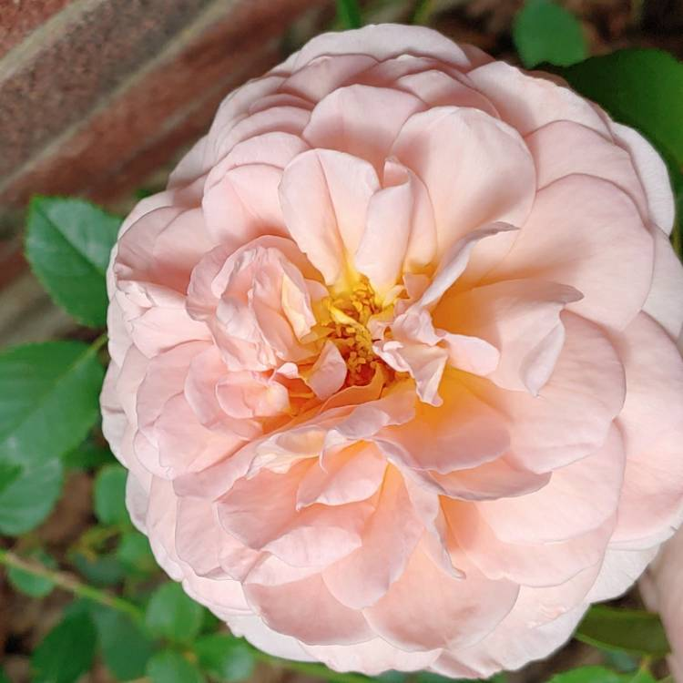 Plant image Rosa 'Abraham Darby'