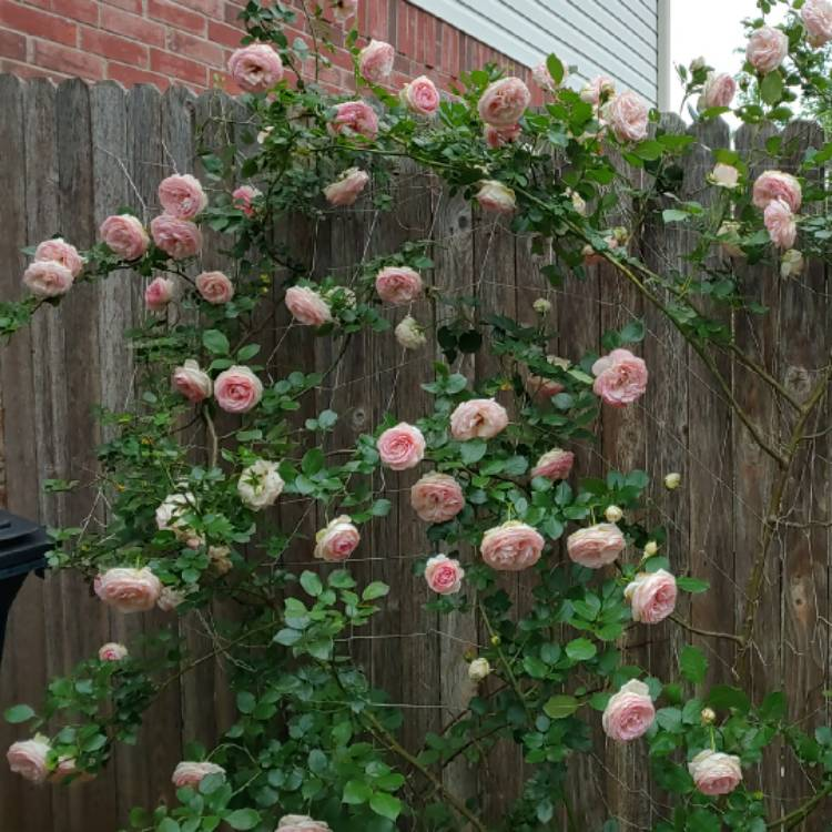 Rosa Eden Rose Rose Eden Rose Uploaded By Rosesarepurple